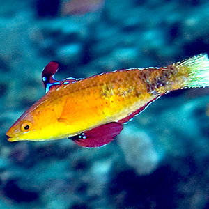 Humann's wrasse, a species of fish he discovered while diving