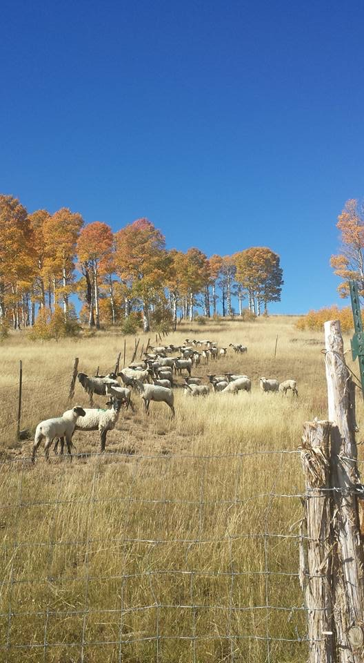 Bayles Family Sheep